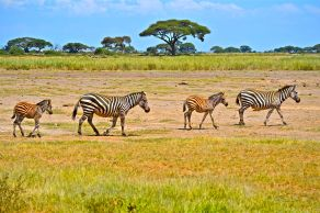Zebra at Amboseli