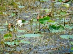 White lilies...