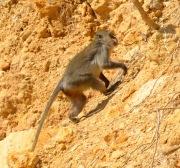 Cliff climbing Monkey...