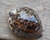 Cypraea tigris, a Borneo gift... one of the gardeners gave me this as a present...