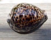 Another view of the Cypraea tigris present...