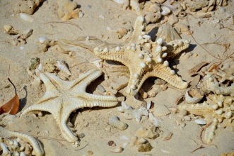 Starfish,sundried on the beach...