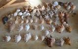 Sri Lanka beach finds August 2015...Lambis, Tonna, Melo, Conch, Turbinellum Pyrum...