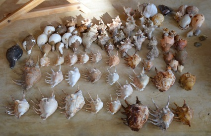 Sri Lanka beach finds August 2015...Lambis, Tonna, Melo, Conch, Turbinellum Pyrum...