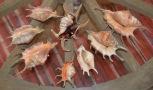 Lambis lambis, Lambis chiragra and Lambis scorpius...Sri Lanka.