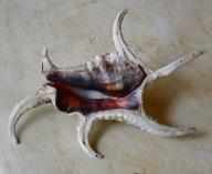 Lambis chiragra, Sri Lanka...