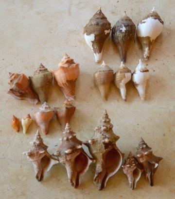 Top right-Turbinellum pyrum, Centre-Hemifusus cochlilidium,Bottom- Pleuroploca Trapezium...Sri Lanka...