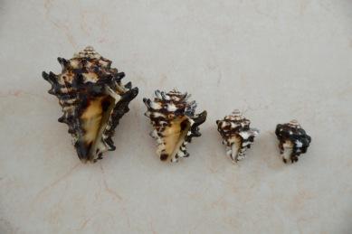 Vasum turbinellum...L-R Sri Lanka, Borneo, Oman, Lombok.