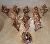 Pleuroploca Trapezium. and Cypraea Tigris used as the tap handle...