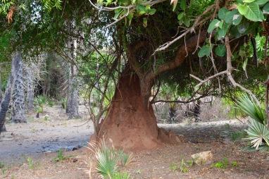 Termite tree...