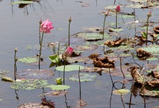 waterlilies on the lake...