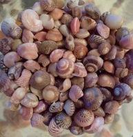 Umbonium vestiarium, Borneo...