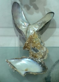 Huge oyster shells from Pearl collecting days...