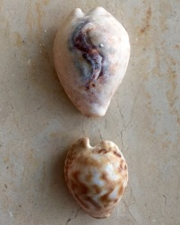 Cypraea teulerei, Masirah island, Oman...