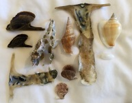 Pteria tortirostis, Strombus vittatus, Malleus alba, Strombus canarium, Atys cyclindrica and Chlamys sp....Con Dao, Vietnam