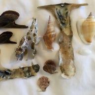 Pteria tortirostis, Strombus vittatus, Malleus alba, Strombus canarium, Atys cyclindrica and Chlamys sp....Con Dao, Vietnam