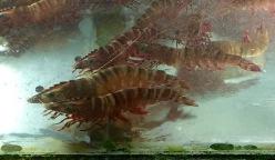 Large prawns for dins...