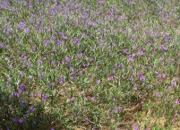 Purple meadow at the hotel...