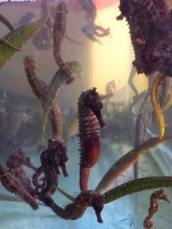 Seahorses for sale....