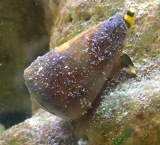 Conus flavidus, UAE.. alive ...