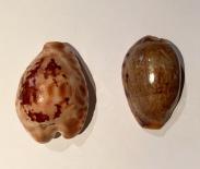 Cypraea teulerie and Cypraea caurica, Bar Al Hikman, Oman...