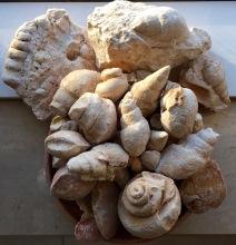 Fossil shells, Southern Oman