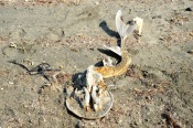 What was this scary monster when alive ? West coast, Masirah, February 2015...