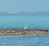 Heron on Masirah, February 2015...