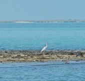 Heron on Masirah, February 2015...