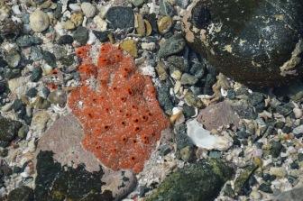 Red sponge growing, February 2015...