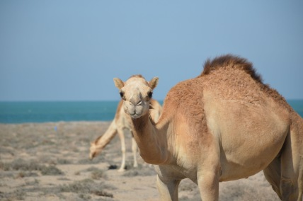 Camels by the sea, Masirah, February 2015...