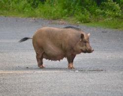 Very large Vietnamese pig road blocking ... wary creep round...