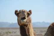 Furry camel, Masirah, February 2015...