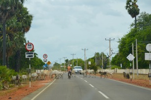 Cows on the road....