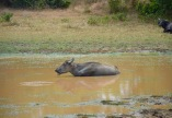 water & buffalo...