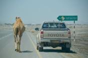 Camel walkies, Masirah style..