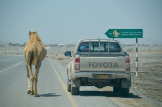 Camel walkies, Masirah style..
