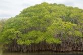 Mangroves...