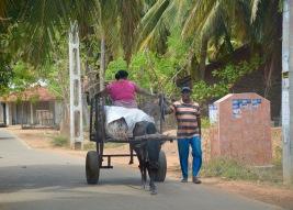Bullock transport...