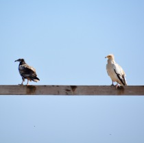 Egyptian vultures..On the shelf, Masirah, December 2015...