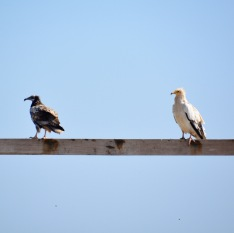 Egyptian vultures..On the shelf, Masirah, December 2015...