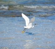 Scaring the Western reef- heron, Masirah, December 2015...