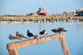 Seagulls having a rest,December 2015...