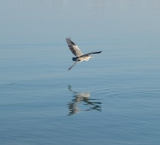 Heron taking off, Masirah island December 2015...