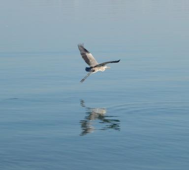 Heron taking off, Masirah island December 2015...