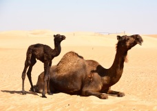 Camels in the desert .... I can't resist them, so Arabia...