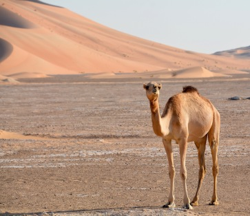 Camel by dune...