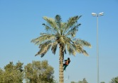 Tending to the tree, Al Ain...