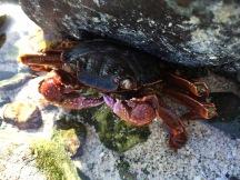 Crab under rock, December 2015...