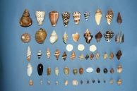 Shells found in Borneo, May 2015...
